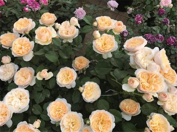 玫瑰黄叶有斑怎么回事图片