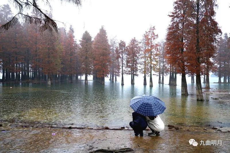 冬日雨中游四明湖红杉林别样景致图片