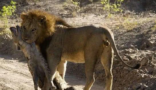狮子抓到只鬣狗,以为咬死了扔一边不管,鬣狗:中计了吧 <span> </span>