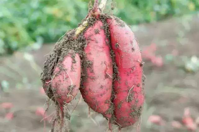 紫薯能当主食吗图片