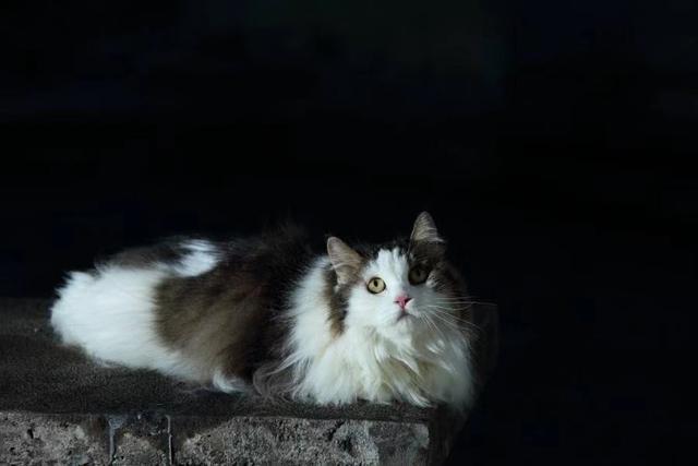 挪威森林猫特点图片
