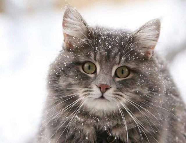 挪威森林猫多少钱图片