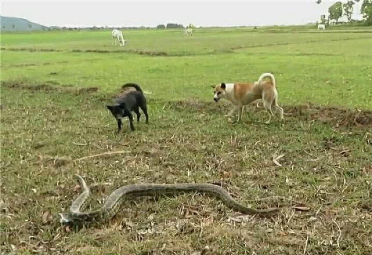 田间突然传来狗狗的惨叫声,村民跑去一瞧,速度叫人来帮忙