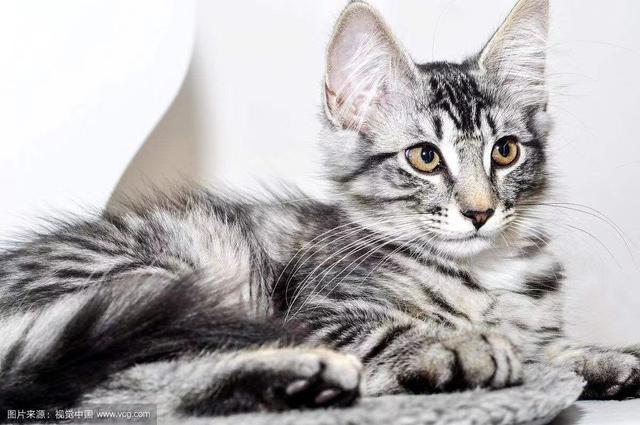 挪威森林猫和缅因猫图片