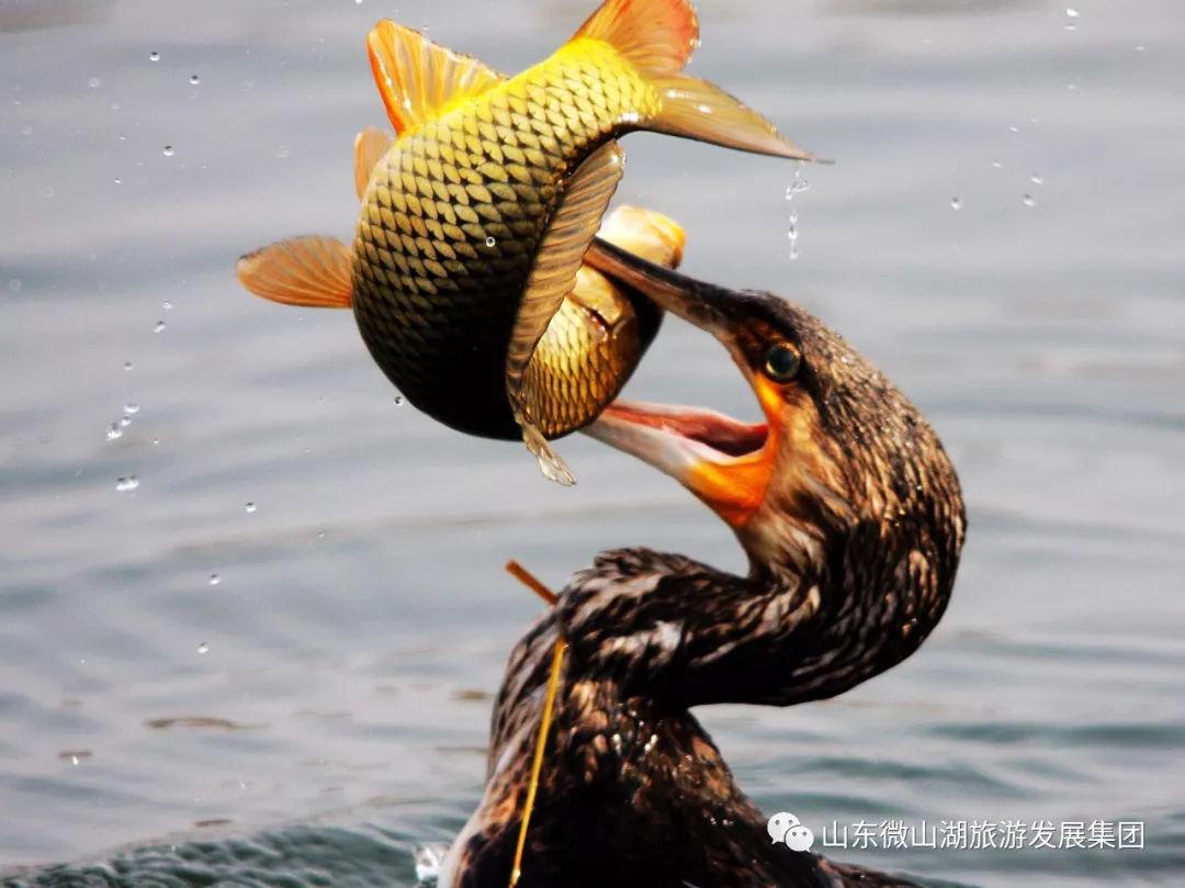 """与老板共进退   鸬鹚从河里叼住一条鱼,鱼说:""""你如果肚子饿, 我宁愿让你吃了."""