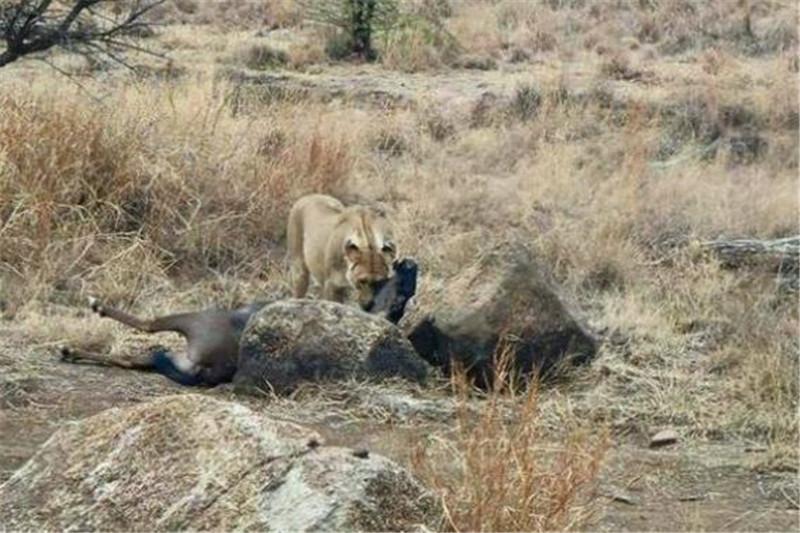 狮子捕猎结束正拖着猎物准备回家和家人一起享用,今天的收获颇丰它们图片