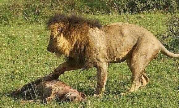 雄狮捡到鬣狗尸体,怎料雄狮下嘴一尝,脸都是绿的!