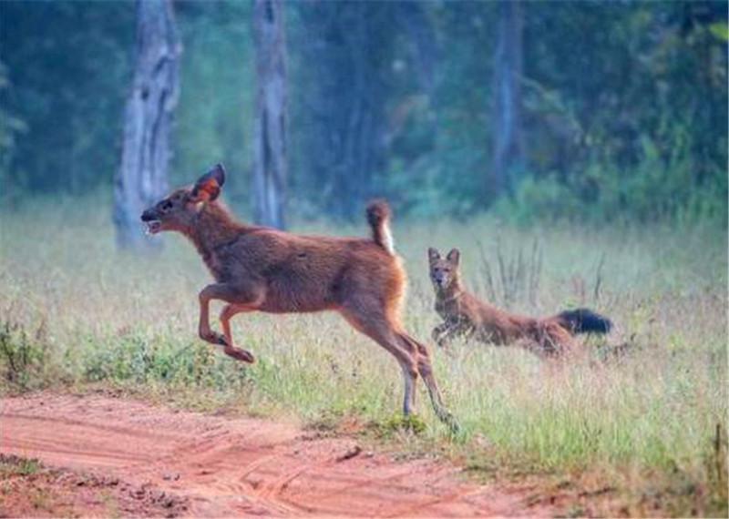 小鹿被狼群围攻,本以为必死无疑,然而小鹿却这样逃脱掉!