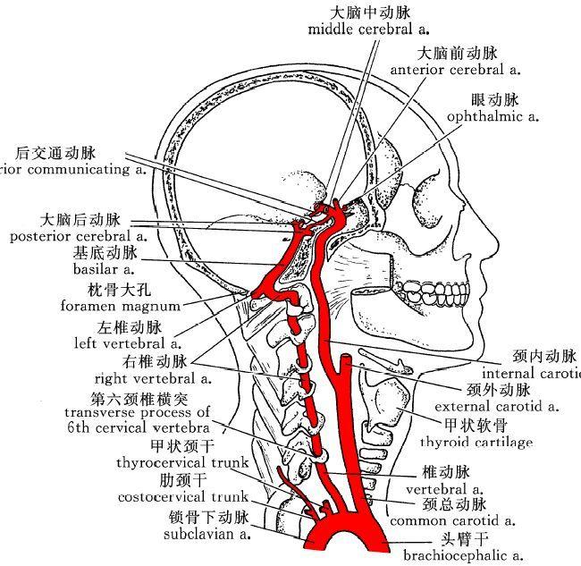 健康 正文  大脑动脉环(willis环)