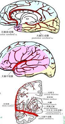 健康 正文  大脑动脉环(willis环) 脑底下方,蝶鞍上方,环绕视交叉,灰
