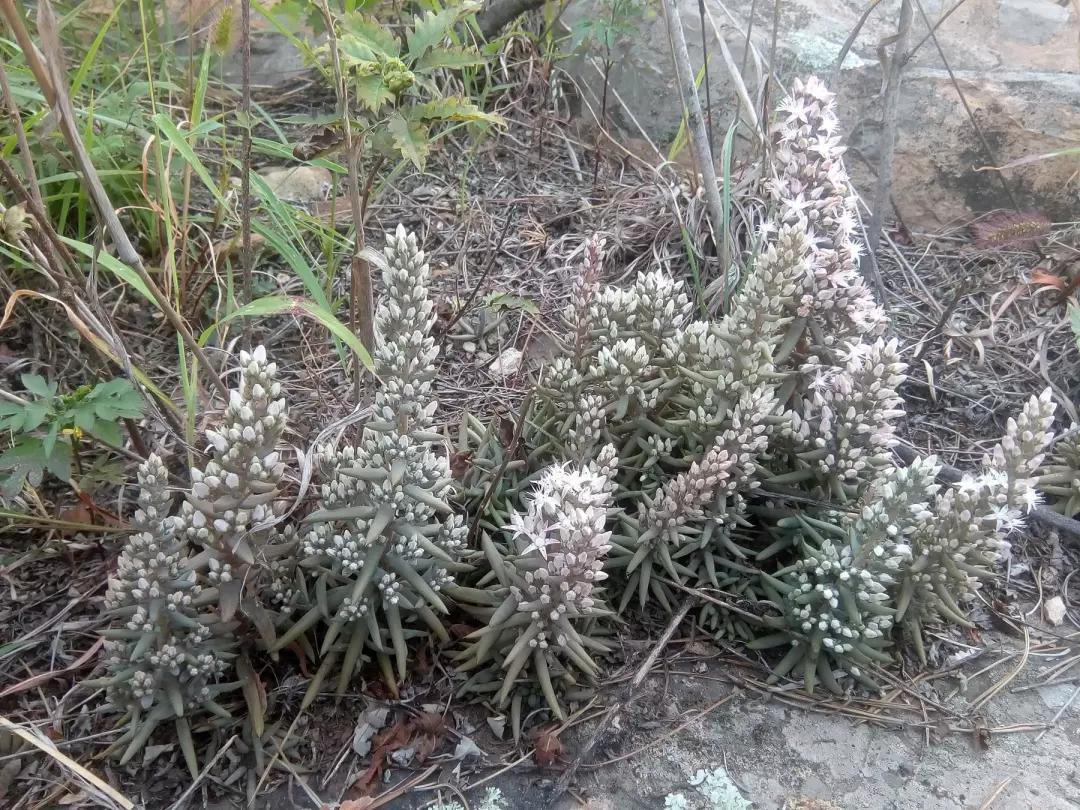 石椒草的作用以及功效