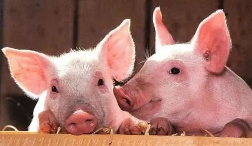 湖北已累计扑杀生猪三万多头!全国35个疫区解除封锁!