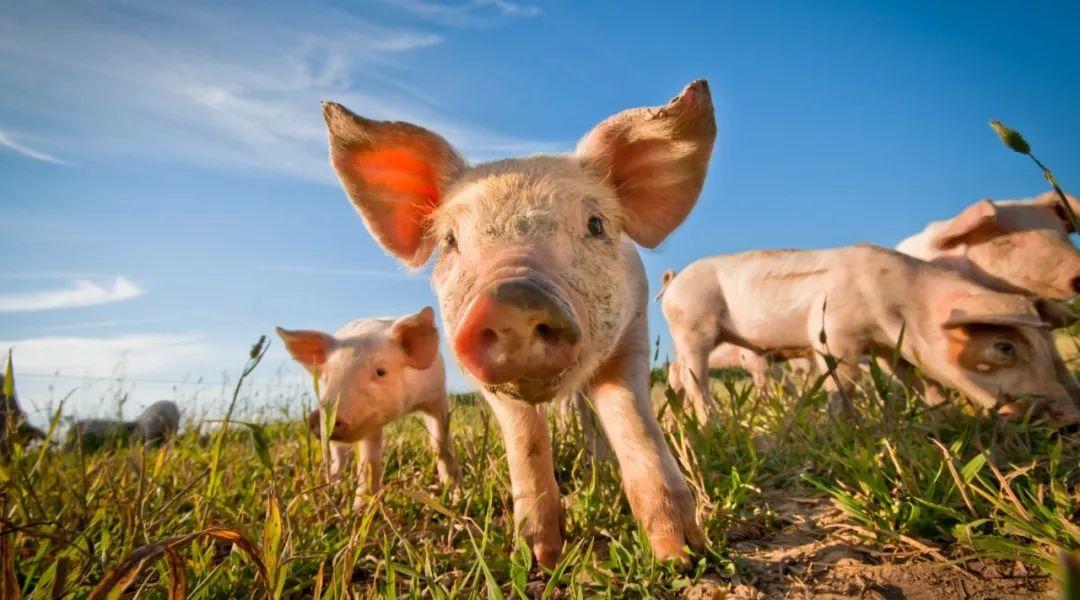 豬豬那麼可愛,而且那麼好吃!吃豬豬的 6 個注意事項
