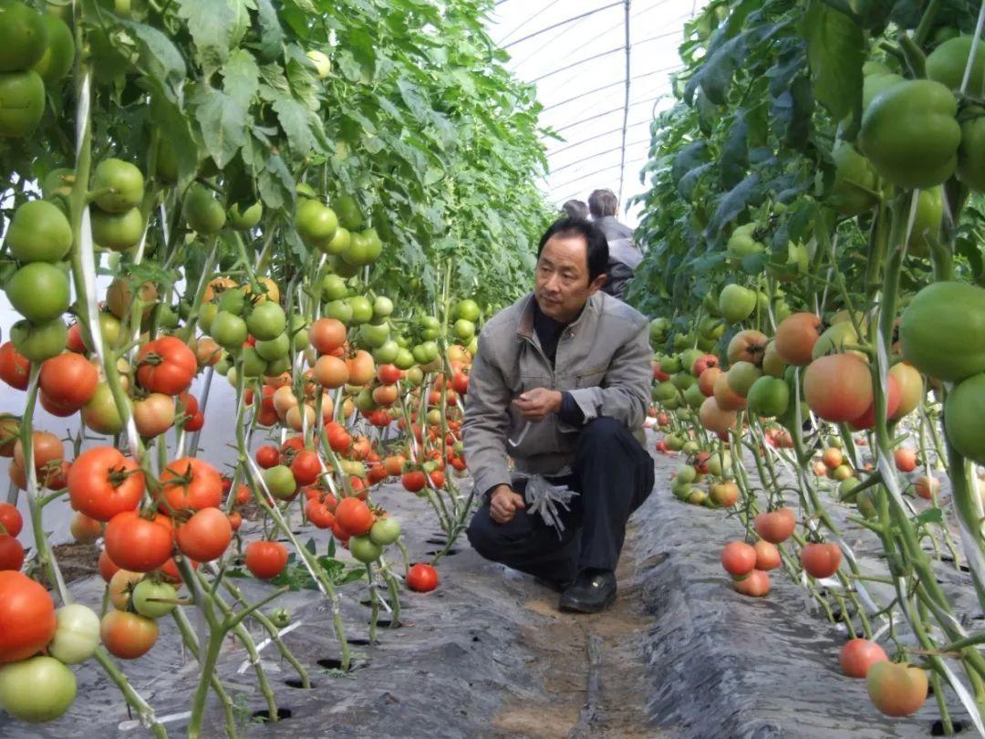 西红柿的高效栽培,做好这些种植要点,高产其实很简单