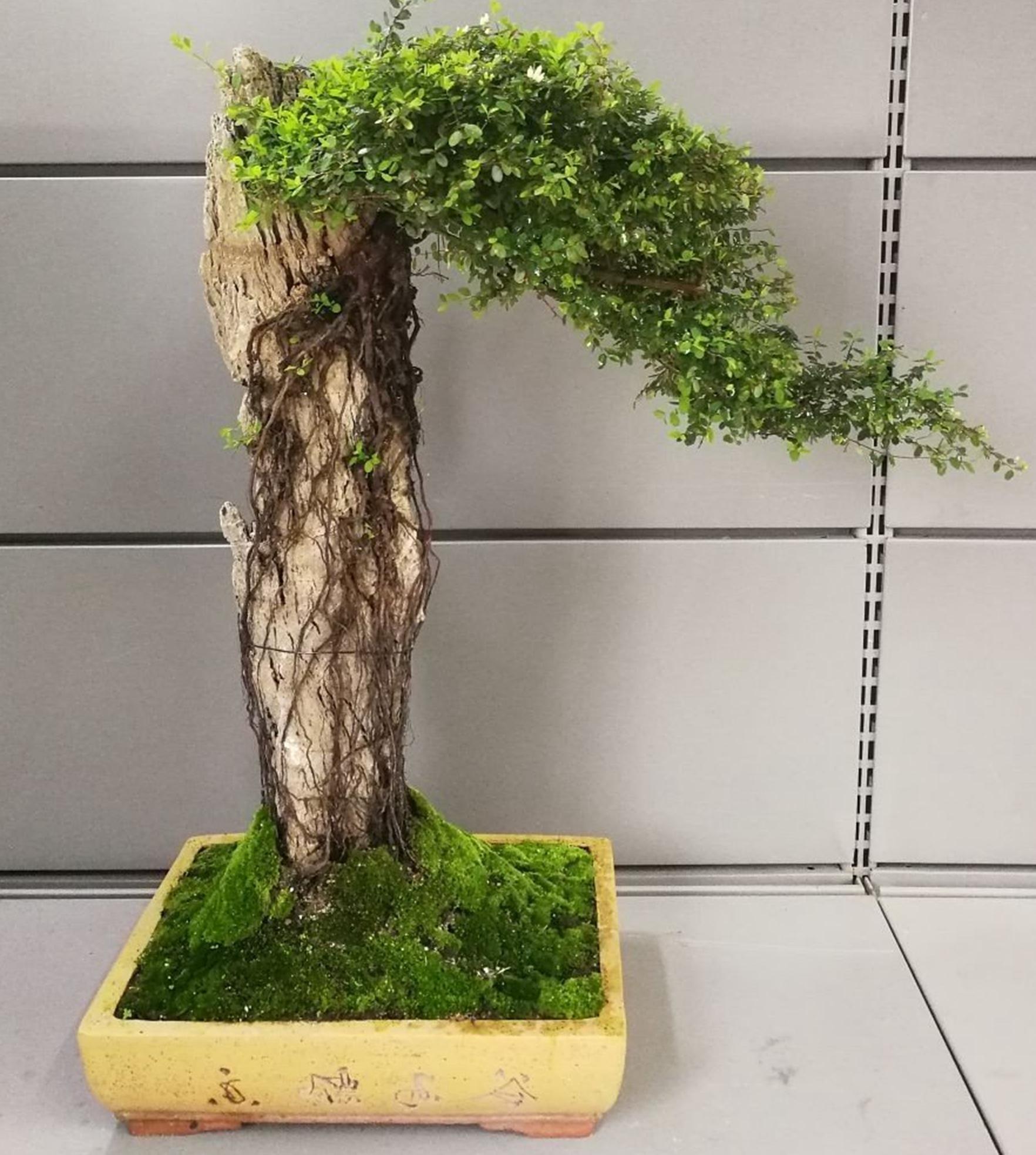 榕树盆景的造型