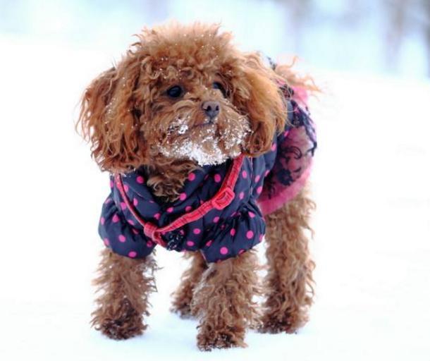 划重点!养泰迪犬的人,一定要知道泰迪在冬天容易患的5种疾病!