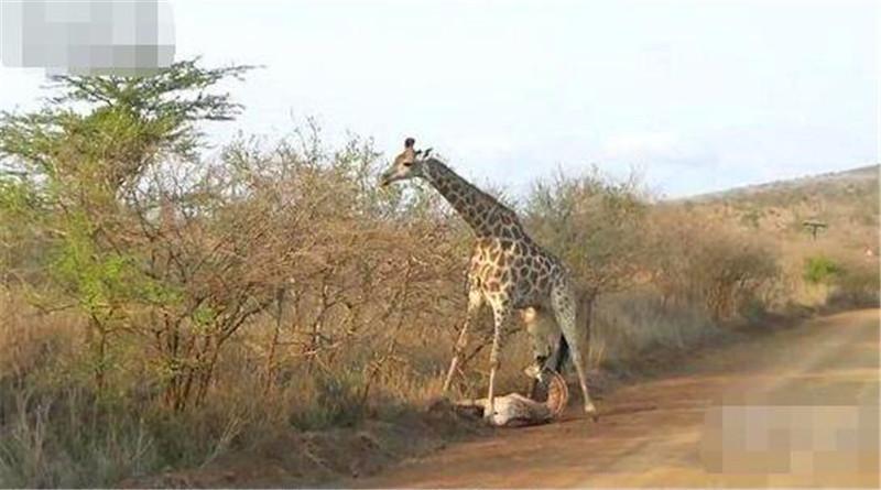 小长颈鹿累了趴地上耍赖,鹿妈直接用这方法,小鹿立刻跳起来