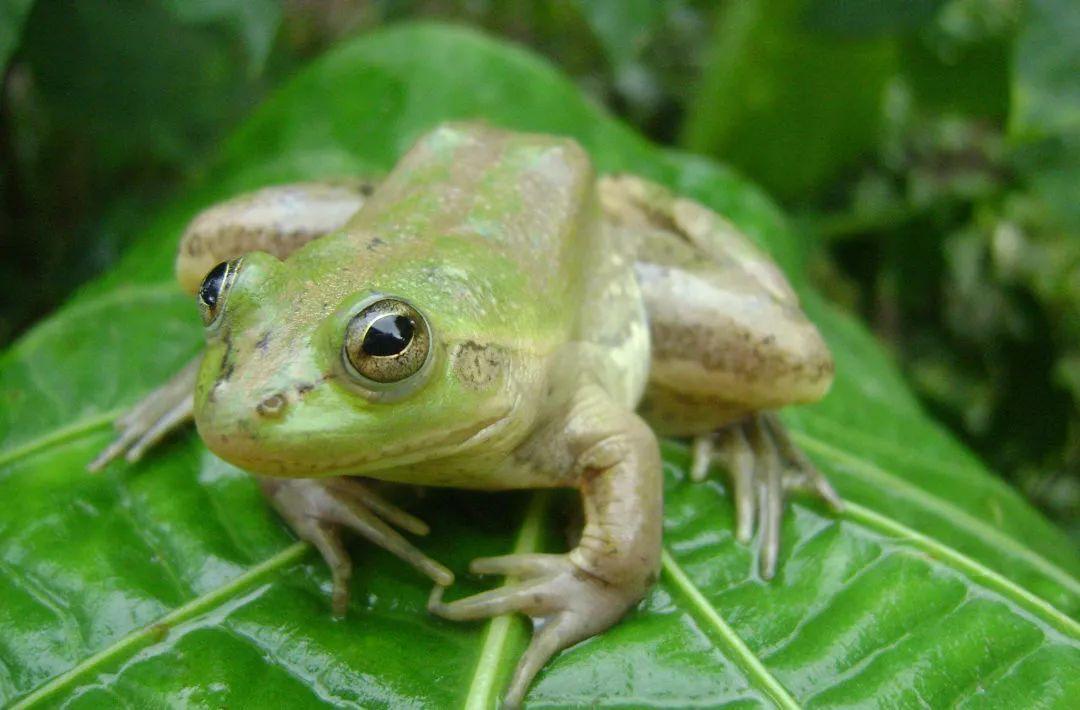 ▼ 奇异多指节蟾  paradoxical frog  奇异多指节蟾是雨蛙