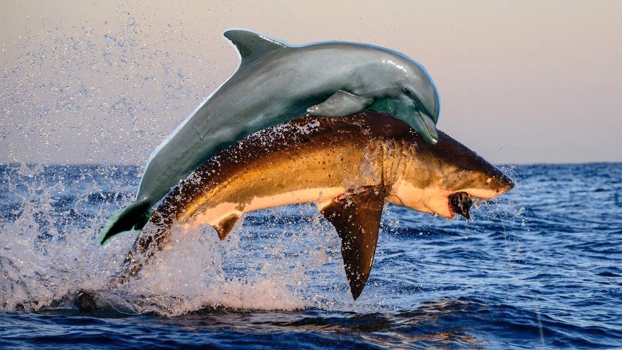 鲨鱼无鳔吗?