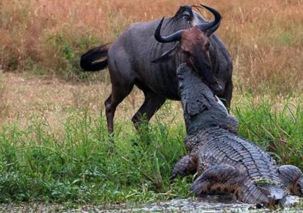 角马遭鳄鱼偷袭叼进水里,本想放弃挣扎可瞬间被它激起了斗志