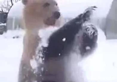 棕熊误闯俄罗斯民宅,刚露头就被人砸雪球,它的反应让人笑喷