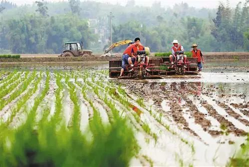乡村玉米水稻手绘