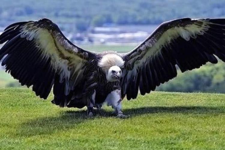 史上最大鸟类,身高近2米,翼展可达7米,可惜却已灭绝