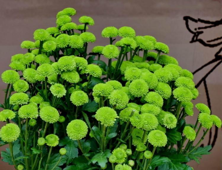 乒乓菊的养殖方法图片