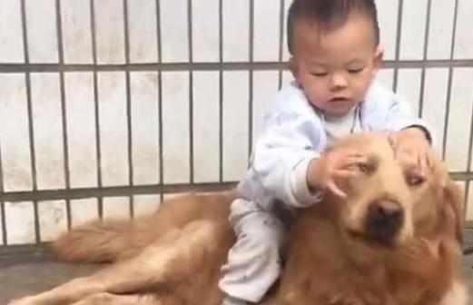 金毛被熊孩子欺负,一再的忍让被当成了纵容,再老实的狗也爆发了