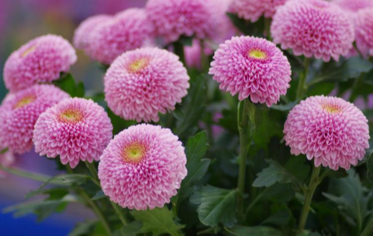乒乓菊的冬天养殖方法图片