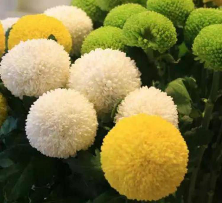 乒乓菊能过冬吗图片