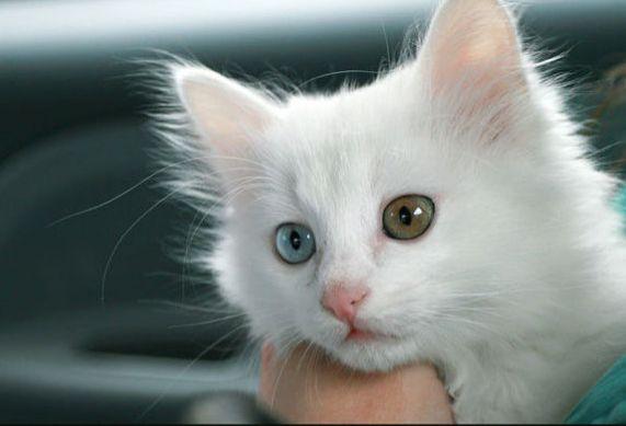 白毛蓝眼睛的猫_最美异瞳长毛白猫,中国独有山东狮子猫,鸳鸯眼的猫_品种