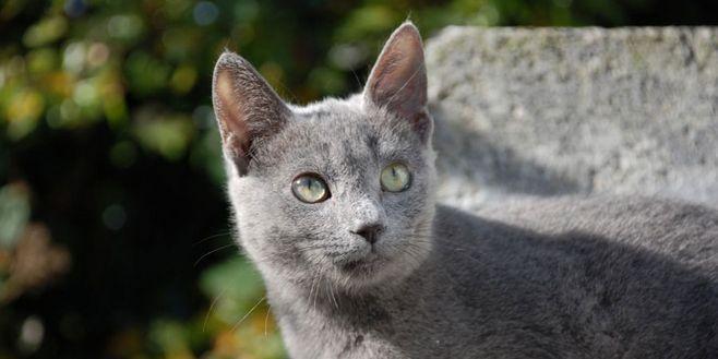 俄罗斯短毛猫和英短猫图片