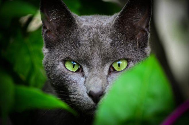 俄罗斯短毛猫和英短图片