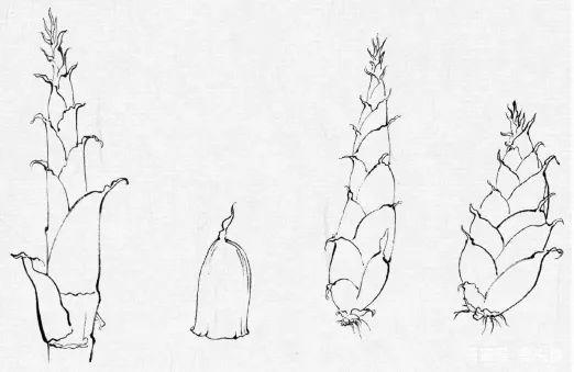 在有节中,奶油向下部逐渐v奶油,生长处生枝成为嫩竹.植物笋壳植脂末图片