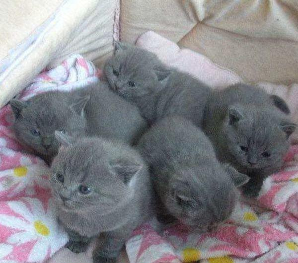 英短蓝猫为啥爱咬人图片