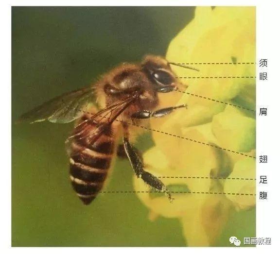 立即加星标,每天看好文 1  2  >>>【第2步】:使用小号羊毫笔调和藤黄,侧锋用笔点画蜜蜂的腹部。使用小号狼毫笔蘸取淡墨,中锋用笔勾画出蜜蜂的足部。依次将蜜蜂的足部勾画完整,注意密封的足部要生动、自然。  立即加星标,每天看好文 3  4  >>>【第3步】:用使用小号狼毫笔蘸取浓墨,中锋用笔勾画蜜蜂腹部的纹理,注意在勾画时,纹理线条的转折体现出蜜蜂腹部的体积。再用小号羊毫笔蘸取淡墨,侧锋用笔点画出蜜蜂的两对翅膀,注意前翅膀较后,翅稍微长些。