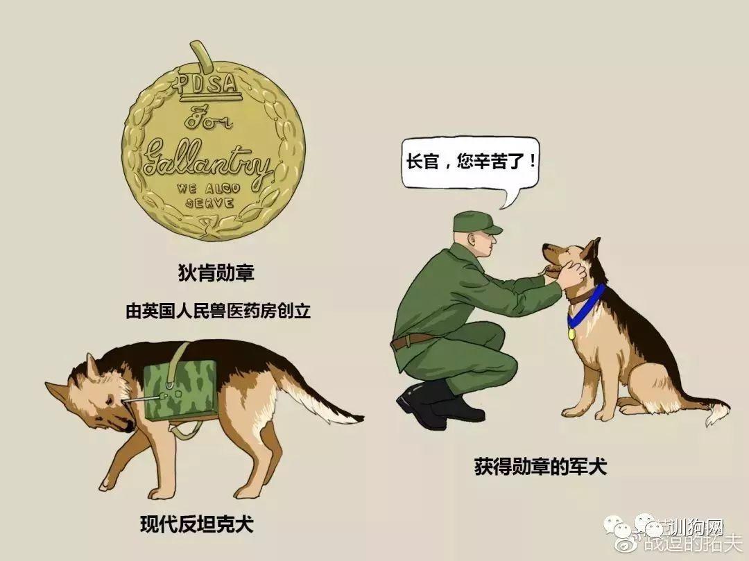 【漫画】军犬源起一战,军警方只青睐这7种?图片