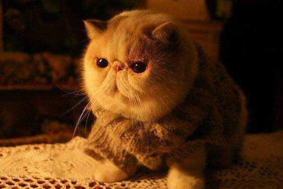 纯种加菲猫多少钱一只?_纯种加菲猫_加菲猫多少钱一只幼崽