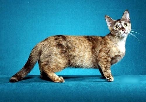 拉邦猫多少钱一只图片