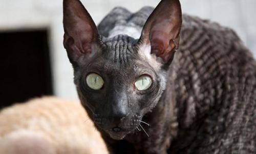 拉邦猫多少钱图片