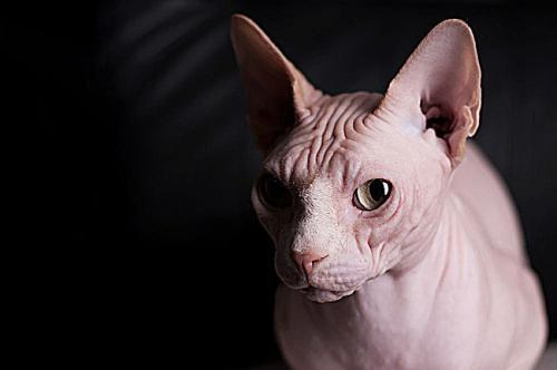拉邦猫品种图片