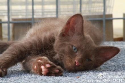 拉邦猫颜色图片