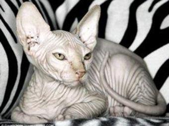 拉邦猫性格图片