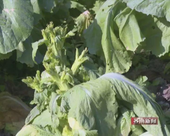 马站:百亩莲花菜绝收农户苦不堪言
