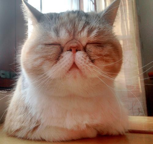 拉邦猫图片图片