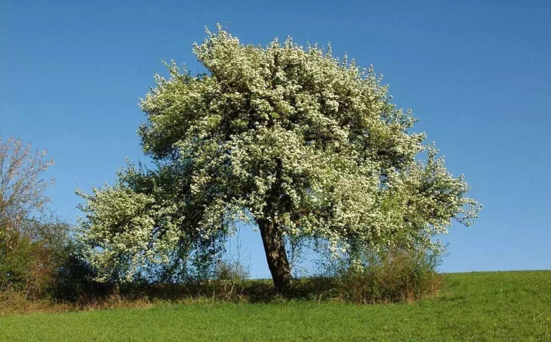 兰州苗木种植