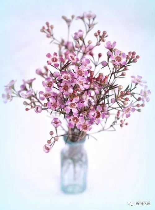 作为鲜切花,澳洲腊梅的花期可达数月以上,如此的超长花期,让人不得不