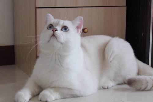 金渐层猫多少钱一只图片