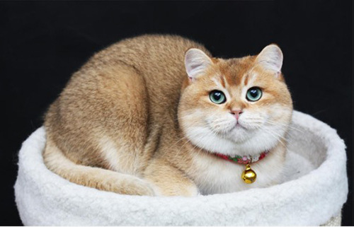 金渐层猫有几种颜色图片